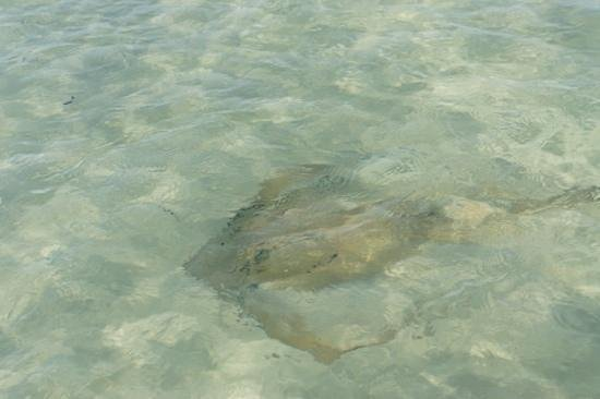 Sting ray in the surf at shell island picture of dolphin for Surf fishing panama city beach