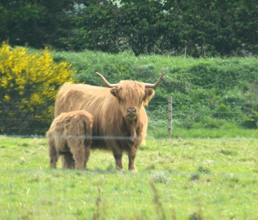 Highland Cattle Near Culloden Picture Of Inverness Day