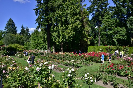 Rose Garden At Washington Park Portland Or Picture Of