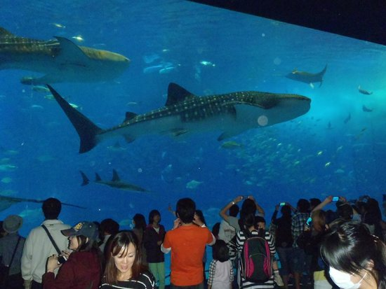 沖縄美ら海水族館 - Picture of Okinawa Churaumi Aquarium, Motobu-cho - TripAdvisor