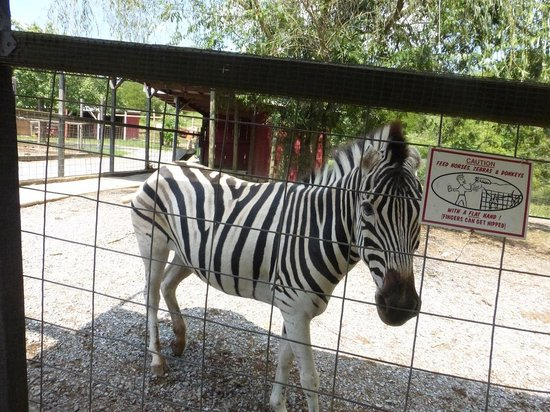 Zebra Petting Zoo Exotic Petting Zoo Zebra