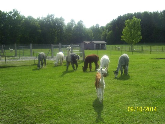 Alpacas for Alpacas view farm cuisine