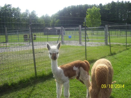 Baby alpaca for Alpaca view farm cuisine