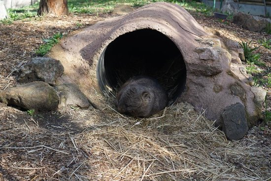 Wombat picture of cleland wildlife park adelaide for 227 north terrace adelaide
