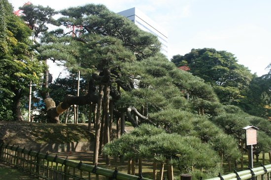 The famous 300-year old pine - Picture of Hama Rikyu Gardens, Chuo - TripAdvisor