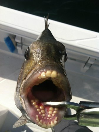 The crazy looking mouth of a sheepshead picture of fish for Do you need a license to fish in florida