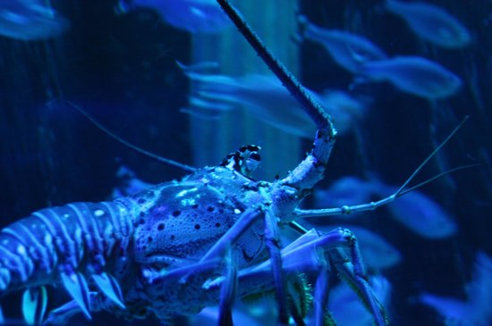 Lobster Picture Of Sea Life Aquarium Tempe Tripadvisor