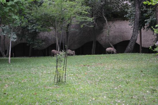 Victoria Falls Safari Club: Warthogs roaming the grounds