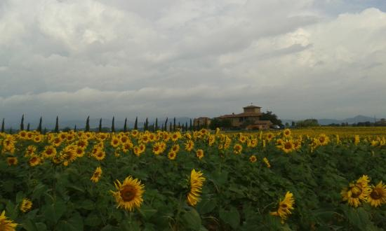 Il Pero. Sunflowers in July