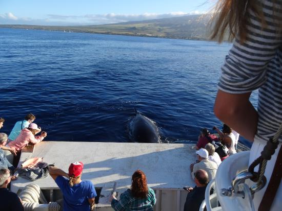 Whales in Oceans Hawaii Ocean Project Whale