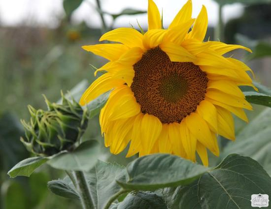Gestingthorpe, UK: Sunflowers in Garden