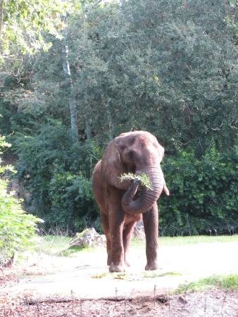 african elephant picture of disney's animal kingdom