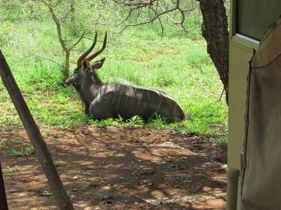 White Elephant Safari Lodge: Nyala enjoying a rest next to our tent