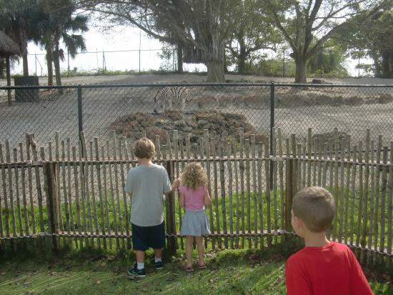 Zebras Picture Of Naples Zoo At Caribbean Gardens Naples Tripadvisor
