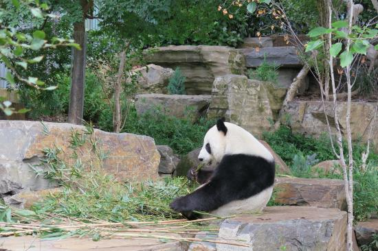 Giant panda wang wang picture of adelaide zoo for 227 north terrace adelaide