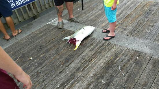Shark got this one on the reel in picture of gulf for Gulf shores pier fishing forum