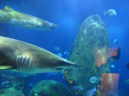 Tennessee Aquarium Sharks Related Keywords & Suggestions - Tennessee ...