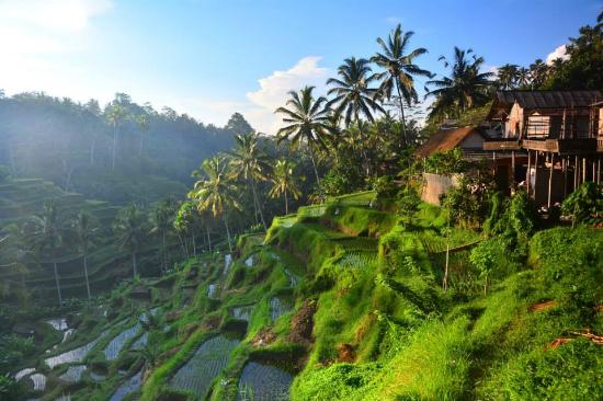 Sunrise picture of tegalalang rice terrace ubud for Tegalalang rice terrace ubud