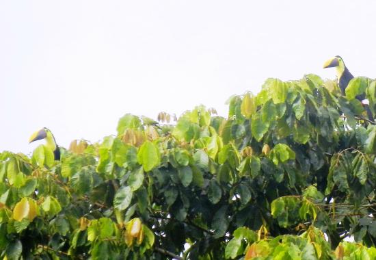San Vito, Κόστα Ρίκα: Chestnut=mandibled Toucans on the B&B grounds.