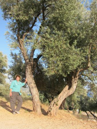 Hideaway Hotel: an ancient olive tree on the way to the amphitheater