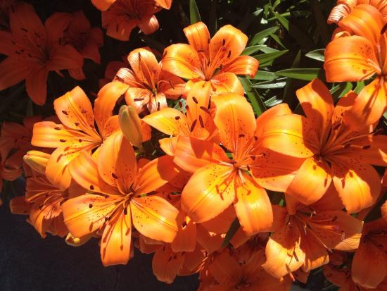 Lakeview Motel & Suites: Tiger Lilies beside the pool