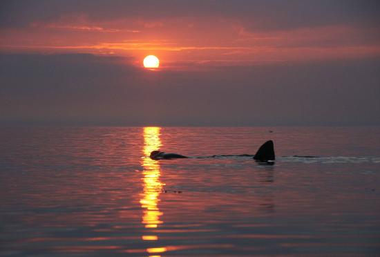 St Johns, UK: Basking Shark at Sunset