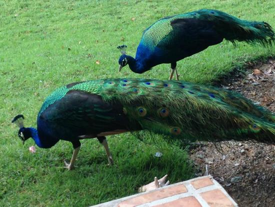 Gallows Point Resort: Peacocks from my patio