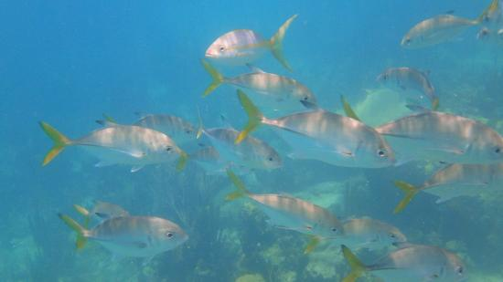 Yellowtail School Picture Of Coral Gardens On Grace Bay