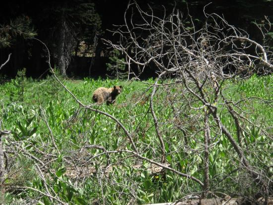 Mariposa, كاليفورنيا: With the advent of the first really hot weather of summer, the bears seem to be much more visibl
