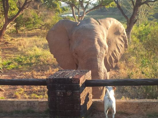 Malelane, แอฟริกาใต้: One of the Jack Russels not being in the slightest intimidated by a wandering elephant!