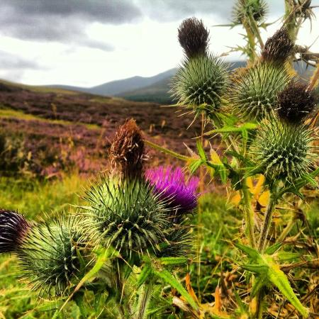 Aviemore and the Cairngorms, UK: Thistle