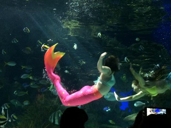 Mermaid Show Picture Of Ripley 39 S Aquarium Of The Smokies