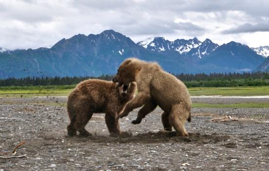 One more bear picture of alaska bear adventures day tours homer