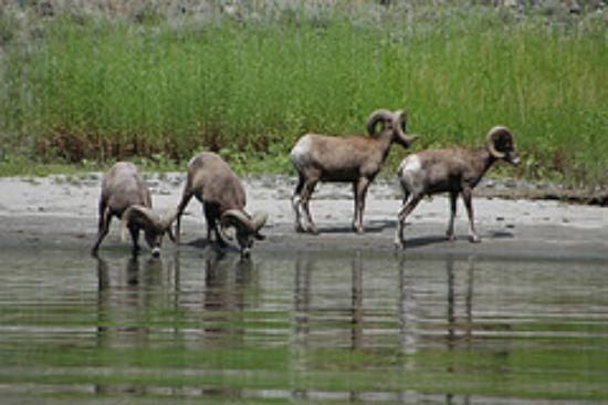 Oxbow, OR: Big Horn Sheep in Hells Canyon