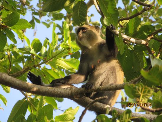 Заповедник Селус, Танзания: One of the funny-looking monkeys that came to visit us