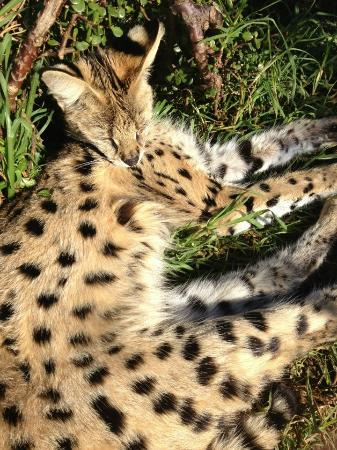Eastern Cape, แอฟริกาใต้: One of the servals