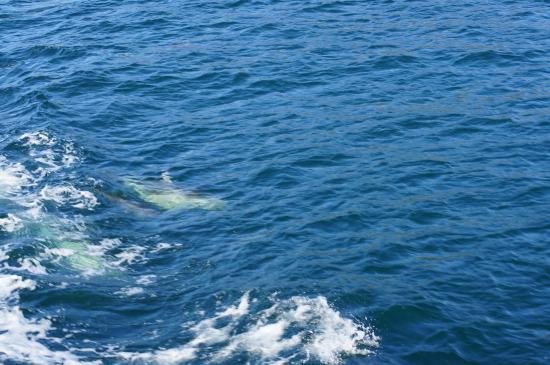 Pelorus Mail Boat: Dolphins