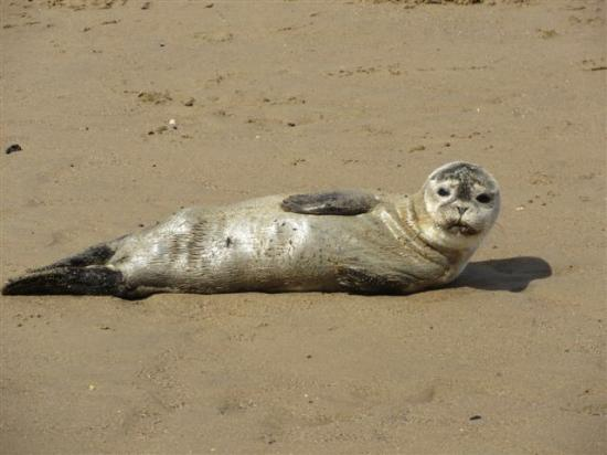 Baby seal resting on the beach at roker he swam away for Chaise guest house roker sunderland
