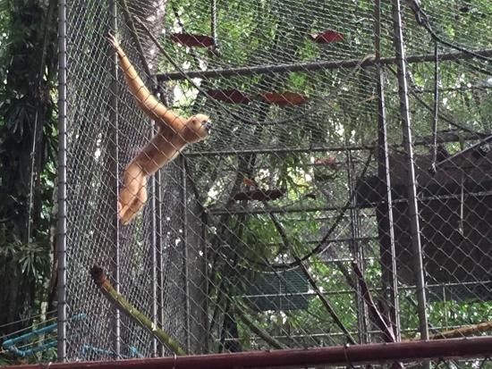 Gibbon Rehabilitation Project - Picture of Gibbon ...