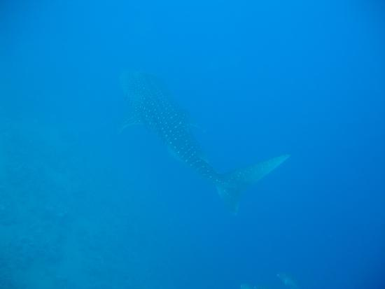 Whale shark picture of reef oasis dive club sharm el - Reef oasis dive club ...