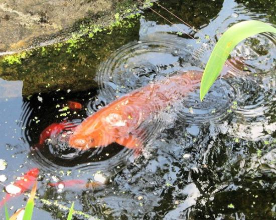 koi picture of pure land meditation centre and japanese