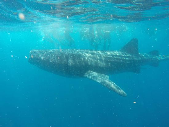 Whales in Oceans Ocean Tours Whale Shark