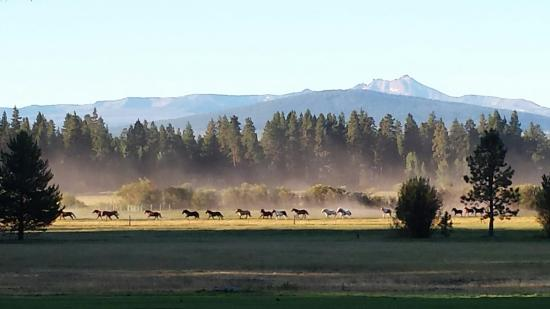 Black Butte Ranch, OR: Gathering the horses forvthe day. Loved watching it in the morning!