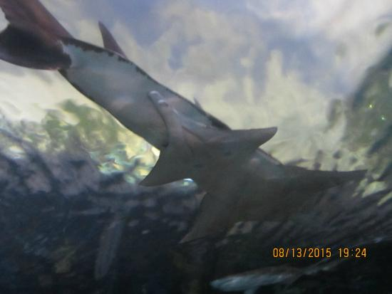 Shark In Tunnel Picture Of Ripley 39 S Aquarium Of The