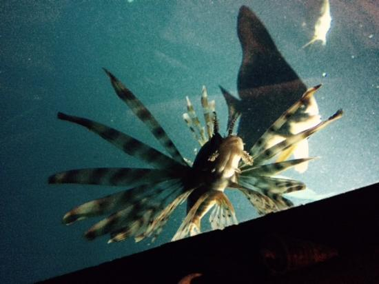 A lion fish coming to say hi picture of the manta resort for Fish therapy near me