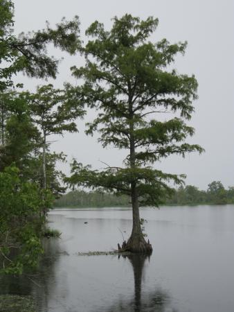 Columbia, NC: Bald Cypress on Scuppernong River