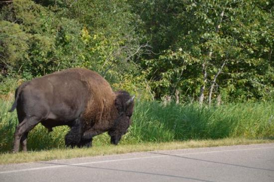 a field trip to the elk island park It is a popular spot for birdwatchers and field trips, and has benches for  of plains bison stand on the parkway in elk island national park.