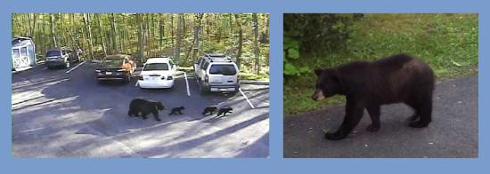 Swanton, MD: The south end of the lake is tranquil and remote. A mama bear nudges her cubs through the inn lo