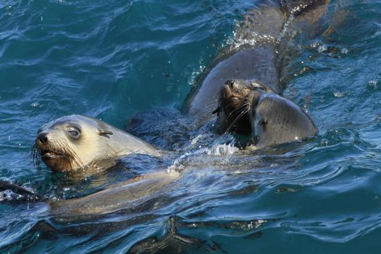 Cowes, ออสเตรเลีย: Seals in the water