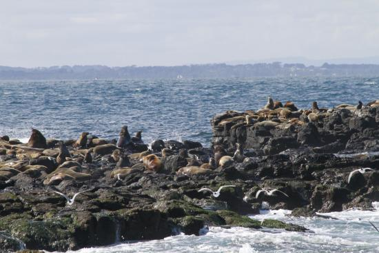 Cowes, ออสเตรเลีย: Seals on the rocks